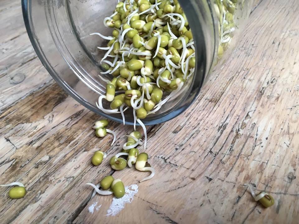 Mungbønner – Alfaspirer – kikerter | slik spirer du selv, hjemme!